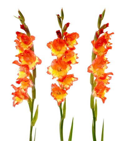 gladiolus: Red and yellow beautiful gladiolus isolated on white background.