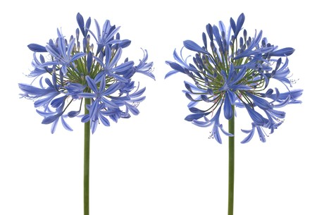 Agapanthus blooms with umbrella like flower clusters of funnel shaped flowers on tall leafless stalks. Space for copy.