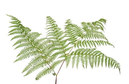 fern: Fern leaf isolated on white background. Stock Photo