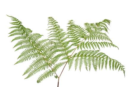 ferns: Helecho hoja aislado sobre fondo blanco.