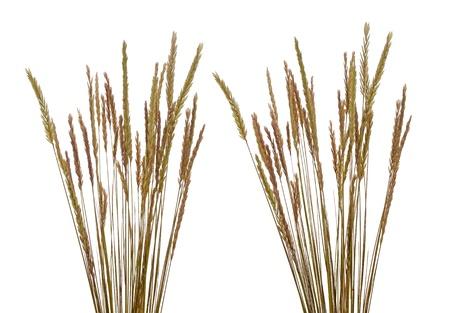 gramineous: Beach grass (Ammophila arenaria) against white background. Stock Photo
