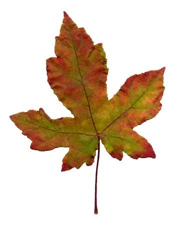 Beautiful autumn maple leaf isolated on white background. photo