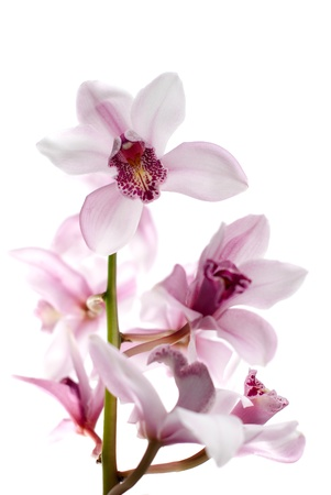 Macro of a beautiful pink orchid (Phalaenopsis) isolated Stock Photo - 8774354