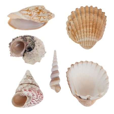 scallop shell: Sea shells isolated on white background.