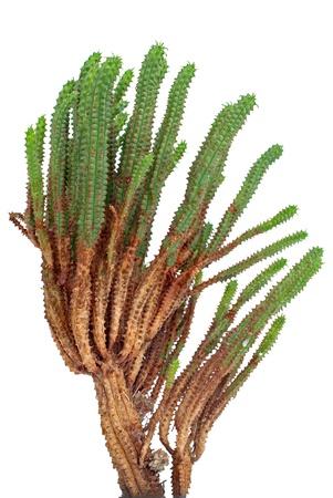 Cactus detailed closeup isolated on white background. photo