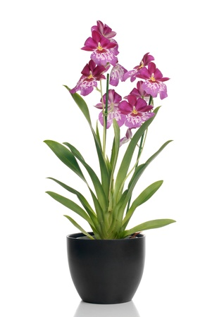 Pink orchid in a pot on white background with shadow reflection. Фото со стока