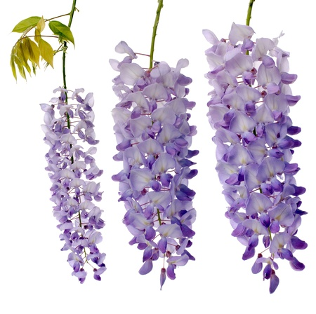 Purple wisteria flowers isolated on white background.