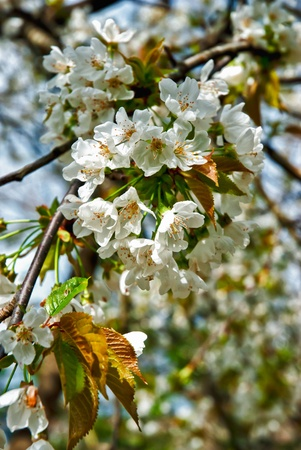 almond bud: Almond tree with blossoms
