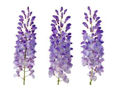 Purple wisteria flowers isolated on white background. photo