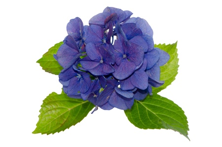 Top view of Lacecap Hydrangea isolated on white background. Фото со стока