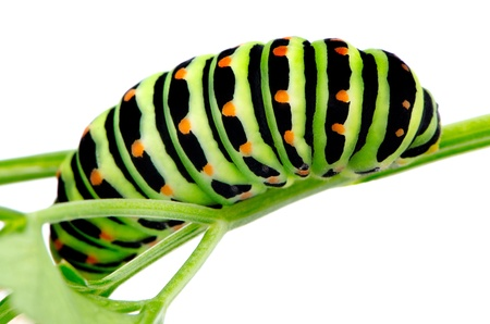 A bright green black swallowtail caterpillar sitting on a celery leaf on white background. photo