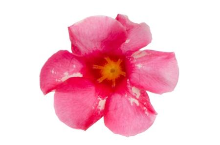 dipladenia: Vista dall'alto della fioritura rosa Mandevilla (Dipladenia) isolato su sfondo bianco.