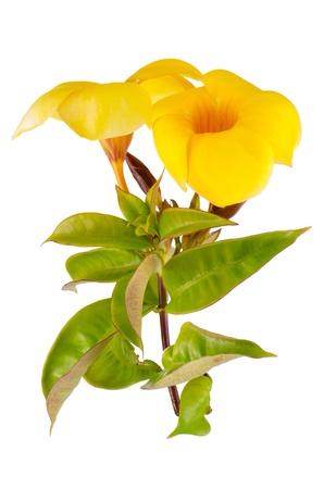 dipladenia: Vista laterale della fioritura giallo Mandevilla (Dipladenia) isolato su sfondo bianco.