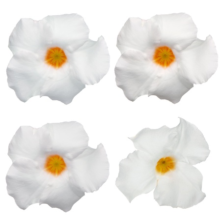 dipladenia: Vista dall'alto di quattro fioritura bianca Mandevilla (Dipladenia) isolato su sfondo bianco.