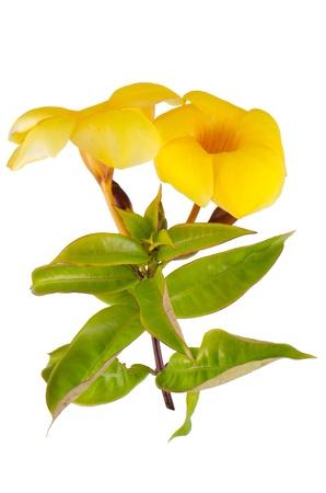dipladenia: Vista laterale della fioritura gialla Mandevilla (Dipladenia) isolato su sfondo bianco. Archivio Fotografico