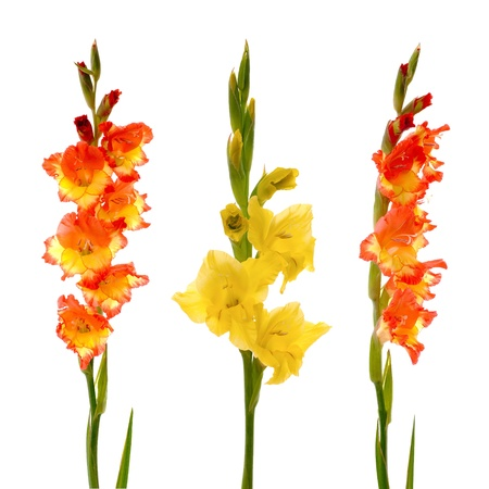 Red and yellow beautiful gladiolus isolated on white background. photo