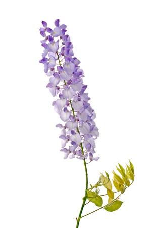 Beautiful wisteria flowers isolated on white background. photo