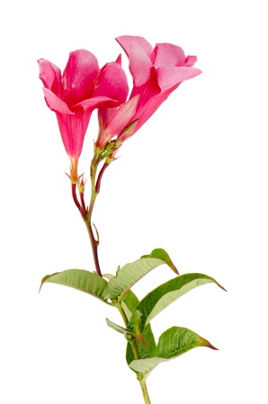 Beautiful pink hibiscus flower isolated on white background. Stock Photo - 12192627