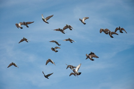 Doves and pigeons in flight, blue sky background photo