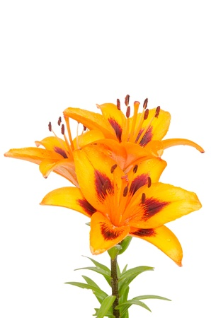 Orange lily flowers isolated on white background. Stock Photo