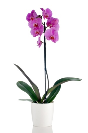 pink orchid: Pink orchid in a white flowerpot on white background.