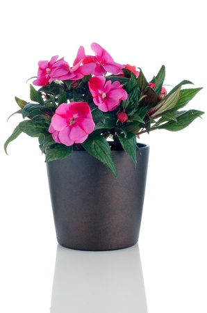 Beautiful pink impatiens flower in a dark flowerpot on white background. Stock Photo - 12726720