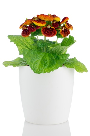 calceolaria: Beautiful yellow and red calceolarua flower in a white flowerpot on white background.
