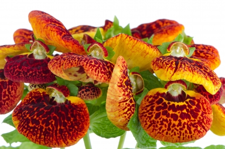 calceolaria: Closeup of yellow and red calceolarua flower on white background. Stock Photo