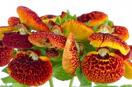 calceolaria: Primo piano di giallo e rosso fiore calceolarua su sfondo bianco.