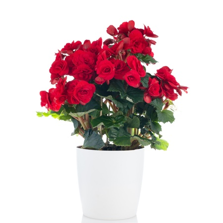 Beautiful Begonia Elatior gemengd flower in white flowerpot on white background. photo