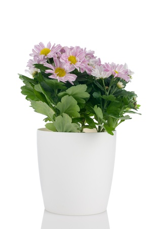 Beautiful Chrysanthemum flowers in a whtie flowerpot on white background  photo