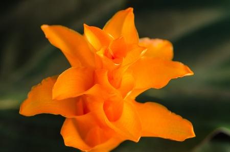 Closeup of Eternal flame flower  calathea crocata Stock Photo - 12910908