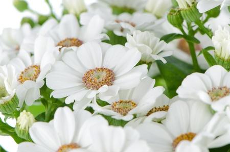 Beautiful Chrysanthemum flowers background  photo