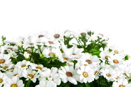 Beautiful Chrysanthemum flowers background. photo