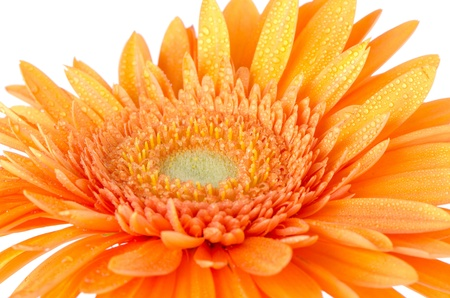Orange gerbera daisy closeup.