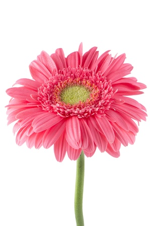 Pink gerbera daisy flower isolated on white background. photo