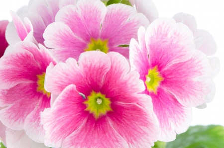 Closeup of pink primrose  on white background. Stock Photo - 13961212