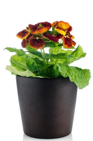 calceolaria: Bel fiore giallo e rosso calceolarua in un vaso di fiori scuro su sfondo bianco. Archivio Fotografico