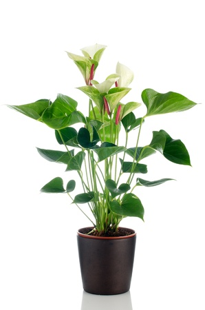 clay pot: Beautiful Anthedesia anthurium  in dark flowerpot on white background.