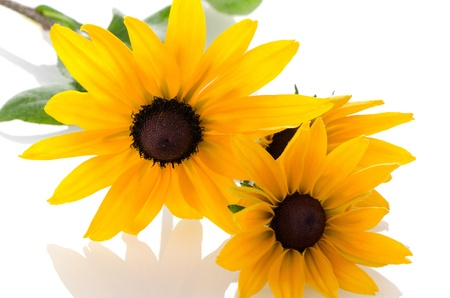 Beautiful sunflowers on white background. photo