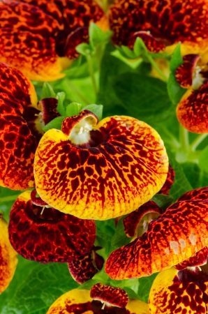 calceolaria: Closeup of yellow and red calceolarua flower on white background