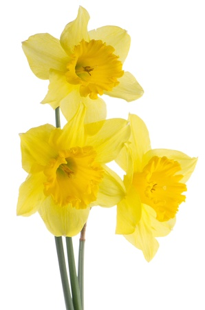 Yellow jonquil flowers isolated on white background. Фото со стока - 17981715