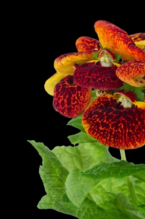calceolaria: Closeup of yellow and red calceolarua flower on black background. Stock Photo