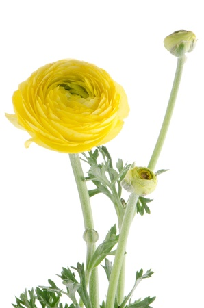 Beautiful yellow eustoma isolated on white background. photo