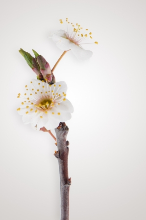 Spring cherry blossom,Closeup on light brown gradient background. photo