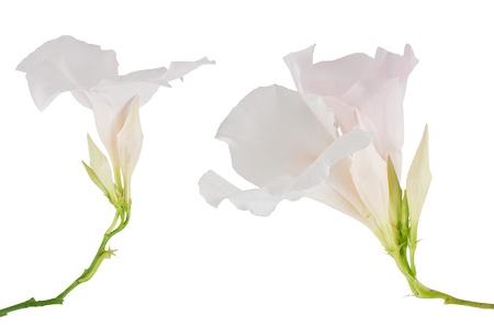 dipladenia: Due fioritura bianca Mandevilla (Dipladenia) isolato su sfondo bianco. Archivio Fotografico