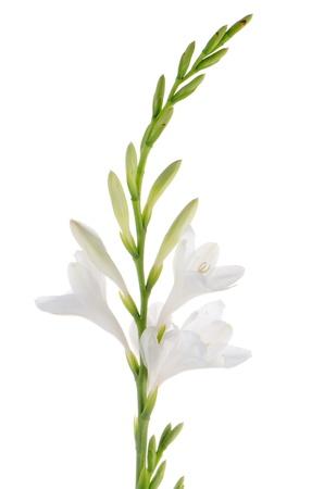 lirio blanco: Un fragmento del ramo lirios blancos en un fondo blanco. zephyranthes candida