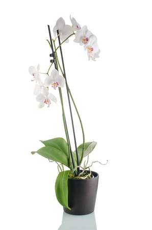 red orchid: White orchid in a dark flowerpot on white background.