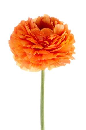 Beautiful orange eustoma isolated on white background. photo