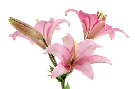 Beautiful pink lilies isolated on white background. Stock Photo - 22150781